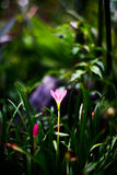 Close up of Zephyranthes Lily or Rain Lily. Look fresh royalty free stock images