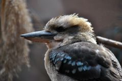 Close-up zijaanzicht van een kookaburra stock foto