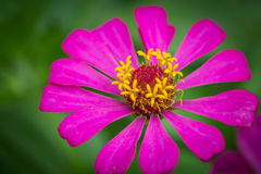 Close up zinnia flower Royalty Free Stock Photo