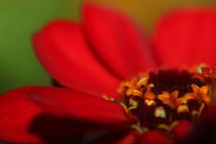 Close up on Zinnia flower in Mississippi June. stock image