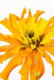 Close up of zinnia flower Stock Photo