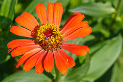 Close up of zinnia flower with small bee Stock Photography