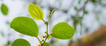 Close up of ziziphus jujube leaves stock images