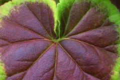 Close up zonal geranium leaf. Contours and contrasting colours of a geranium leaf, taken close up stock photo
