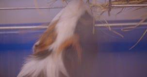 Close-upachtergedeelte van leuk bont pluizig proefkonijn in de dierentuinkooi die wordt geschoten stock video