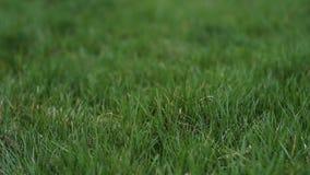 Close-upachtergrond van groen gras stock videobeelden