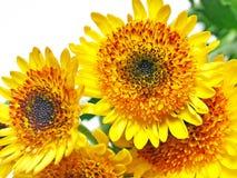 Close-upbeeld van chrysant Stock Afbeelding