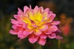 Close-upbeeld van dahliabloemen in geel worden gekleurd die en roze royalty-vrije stock fotografie