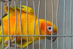 Close-upbeeld van een gele papegaai in een kooi stock afbeelding