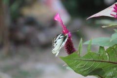 Close-upbeeld van een gestripte Witte vlinder die van het Pioniers Witte of Indische Kappertje op roze bloem rusten stock afbeelding