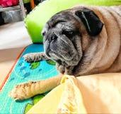 Close-upbeeld van een leuke pug hond die een slaperig gezicht op de vloer maken stock foto's