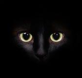 Close-upbeeld van een portret van een Siamese kat stock afbeeldingen