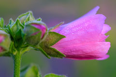 Close-upbeeld van een Stokroosbloem Royalty-vrije Stock Afbeeldingen