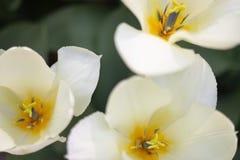 Close-upbeeld van een witte Tulp met een geel midden stock afbeeldingen