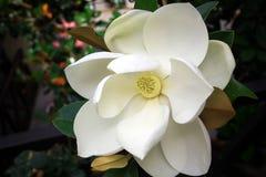 Close-upbeeld van een witte zuidelijke magnoliabloesem, de bloem van de staat van Louisiane stock afbeelding