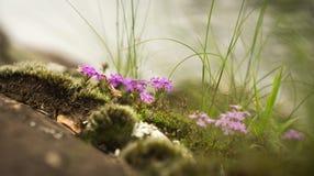 Close-upbeeld van natuurlijke tuin van Uiterst klein Roze wild bloemen en korstmos Royalty-vrije Stock Afbeeldingen