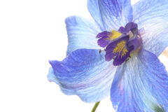 Close-upbeeld van Ridderspoor Royalty-vrije Stock Fotografie