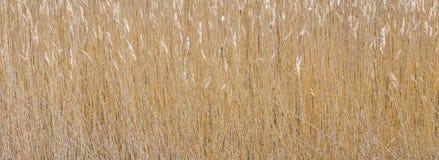Close-upbeeld van riet Royalty-vrije Stock Foto