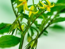 Close-upbeeld van tomatenbloem Royalty-vrije Stock Afbeeldingen