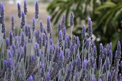 Close-upbeeld van violette lavendelbloemen op het gebied in zonnige D Stock Afbeeldingen