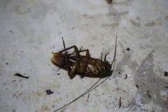 Close-upbeelden die van kakkerlakken op de cementvloer hierboven liggen stock afbeelding