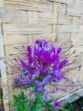 Close-upbeelden van mooie purpere bloemen, natuurlijke, uitstekende houten achtergrond stock foto's