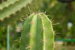 Close-upcactus Royalty-vrije Stock Foto