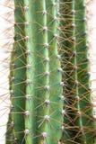 Close-upcactus Stock Foto