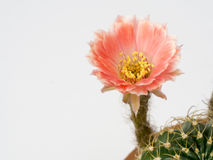Close-upcactus met roze bloem in een pot Royalty-vrije Stock Fotografie