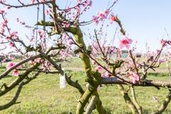 Close-updetails van fungicideblaar op tot bloei komende perzikbomen royalty-vrije stock foto