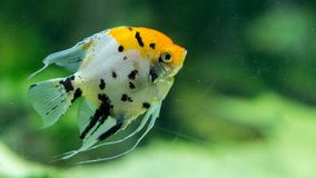 Close-updetails van Rode Duivels Scalaire vissen stock foto