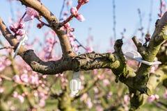Close-updetails van tot bloei komende die perzikbomen met fungicid worden behandeld stock foto
