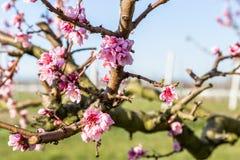 Close-updetails van tot bloei komende die perzikbomen met fungicid worden behandeld royalty-vrije stock afbeelding