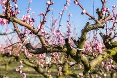 Close-updetails van tot bloei komende die perzikbomen met fungicid worden behandeld royalty-vrije stock foto