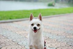 Close-upfoto van Chihuahua-hond Royalty-vrije Stock Foto