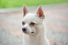 Close-upfoto van Chihuahua-hond Royalty-vrije Stock Fotografie