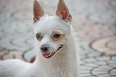 Close-upfoto van Chihuahua-hond Stock Afbeeldingen