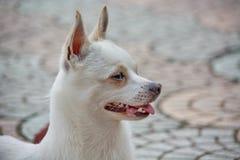 Close-upfoto van Chihuahua-hond Royalty-vrije Stock Afbeeldingen