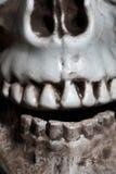 Close-upfoto van de menselijke schedel Stock Fotografie