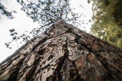 Close-upfoto van de schors van de pijnboomboom bij het bos Stock Afbeeldingen