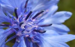 Close-upfoto van een blauwe en purpere bloem voor achtergrond of textuur Royalty-vrije Stock Fotografie