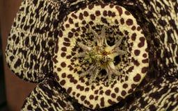 Close-upfoto van een ongebruikelijke Cactusbloem voor een achtergrond of een textuur Stock Foto's