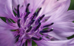 Close-upfoto van een purpere bloem voor achtergrond of textuur Royalty-vrije Stock Foto's