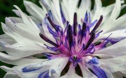 Close-upfoto van een purpere en witte bloem voor achtergrond of textuur Stock Foto