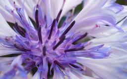 Close-upfoto van een purpere en witte bloem voor achtergrond of textuur Royalty-vrije Stock Afbeelding