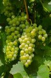 Close-upfoto van een wijnstok in een wijngaard tussen groen verlof stock fotografie