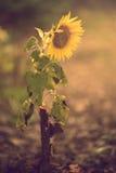 Close-upfoto van een zonnebloem Stock Fotografie