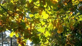 Close-upfoto van groene en gele eiken bladeren op boom Royalty-vrije Stock Foto's