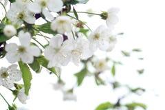 Close-upfoto van kersenbloemen op het wit blur Adembenemende de lentefoto Natuurlijke achtergrond stock fotografie