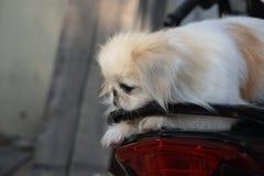 Close-upfoto van leuke witte Pekineeshond Royalty-vrije Stock Foto's